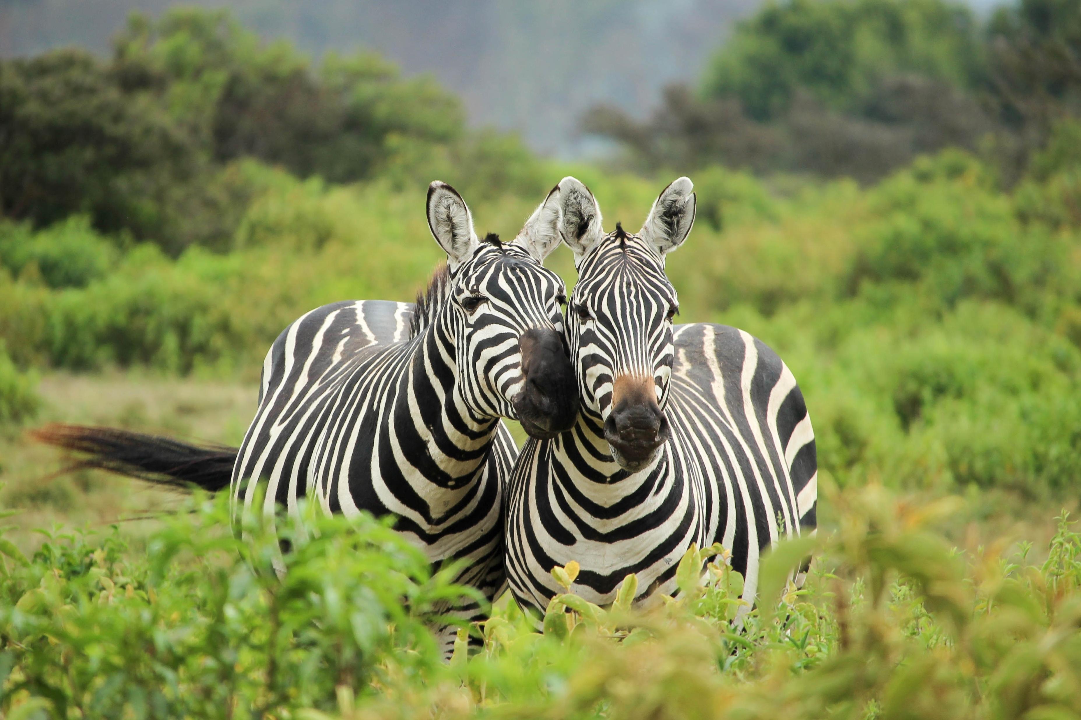 2 Zebras (2)